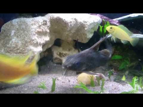 African Malawi Cichlids And A Synodontis Catfish