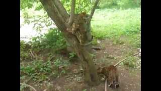 Бенгальские котята для души