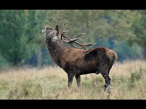 Roaring Red Deer Stag....