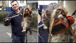 В Лондоне найдена ПОЛУТОРАМЕТРОВАЯ Крыса || 11 марта 2016