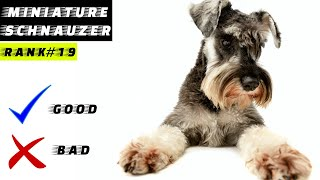 Miniature Schnauzer Pros And Cons | The Good And The Bad.