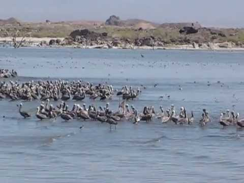 Salton Sea Birds Sept 1, 2013