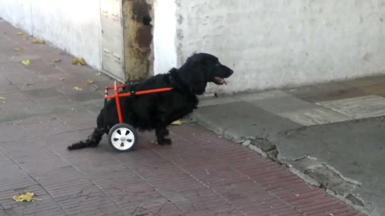 Carrito para perro discapacitado youtube for Carritos para perros