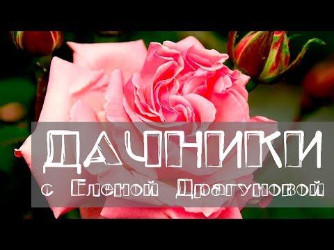 Дачники. Особенности выращивания чайно-гибридной розы, розы флорибунда