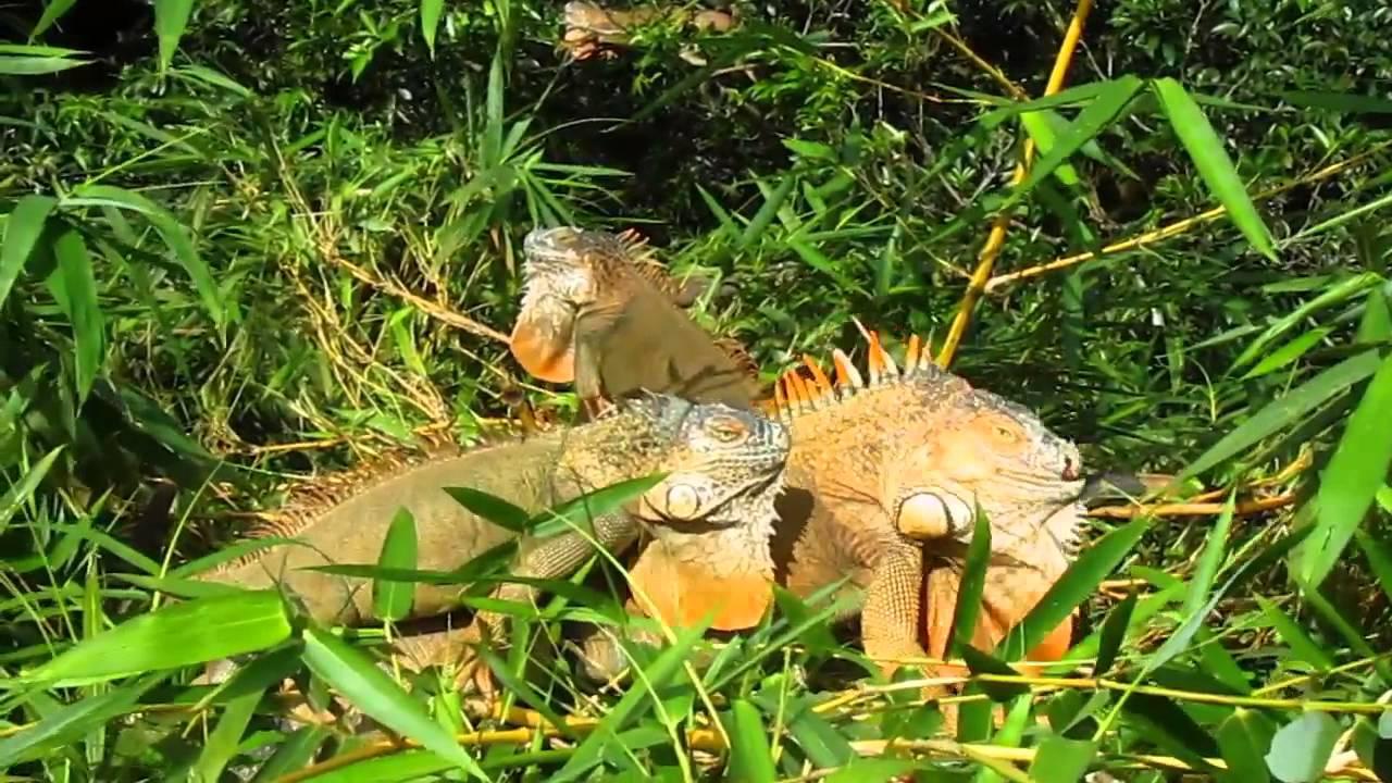 Green Iguanas, Male Mating Season Orange, Muelle, Costa -2314