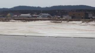Лебеди прилетели в Охотское