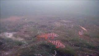 Зимняя рыбалка на окуня Подводная съемка поклевки