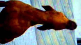 Cachorro uivando buzina