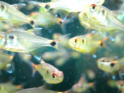 Aquarium Zierfische : Schlusslichtsalmler /  Hemigrammus Ocellifer / Head And Tail Light Tetra