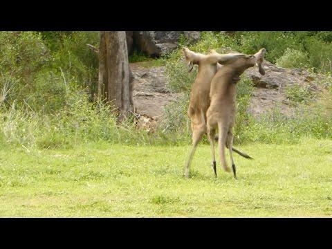 Amazing Kangaroo Fight In Australian Nature Park