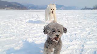 북극곰보고 도망가는 강아지 - 스탠다드푸들 춘봉이