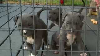 American Pitbull Blue Nose Puppies