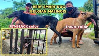 #belgian#malinios #jetblack #color STUD SESSION BELGIAN MALINOIS JETBLACK AND FAWN COLOR