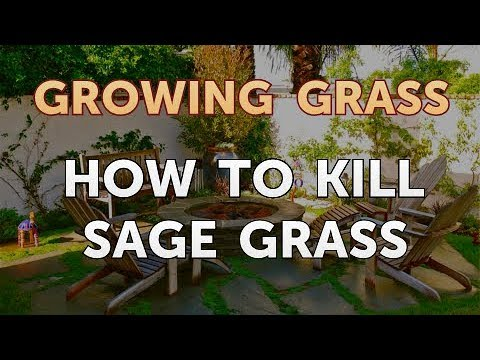 How To Kill Sage Grass Youtube