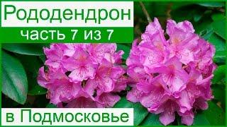 🌸 Рододендрон в Подмосковье – особенности выращивание, посадки и ухода