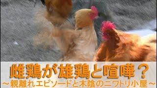 """2017年5月初旬のこと。 庭でボス役を務めるのは雄鶏""""夏""""です。 """"ぴよ助""""..."""