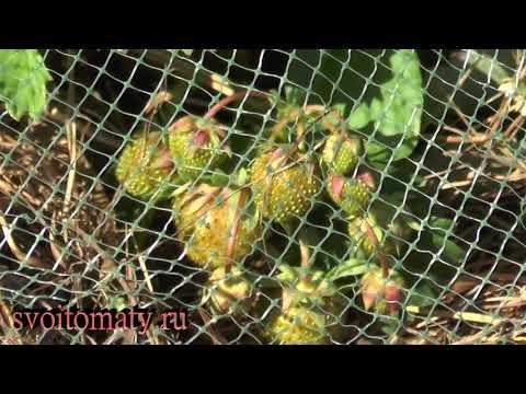 Вопрос: Какие птицы клюют ягоды земляники в саду?