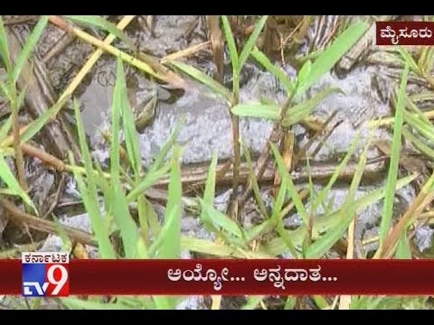Mysore: Govt Officials Negligence;The Polluted Water Effecting Agriculture Land Farmers Claim