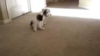 Maltese Vs Shih Tzu (puppies)