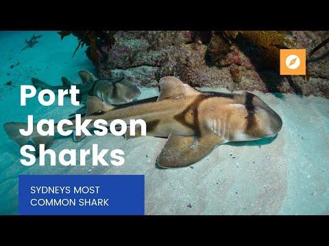 Port Jackson Sharks of Sydney
