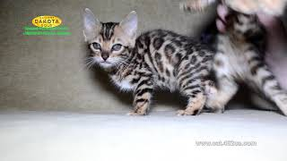 Маленькие бенгальские котята на фотосессии, Dakota Gold