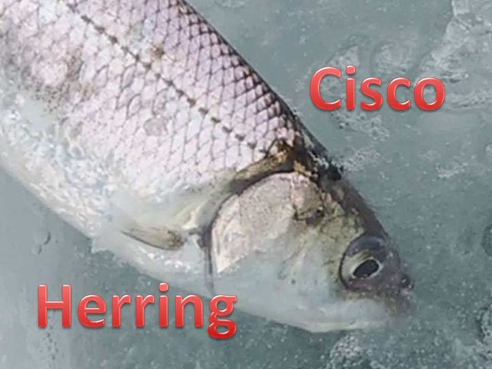 Ice fishing for cisco herring on lake simcoe best action for Cisco s sportfishing fish count