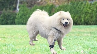 12 Facts About Samoyed Dogs To Know Before Buying