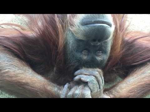 Hanging out with Karen, a Sumatran Orangutan at the San Diego Zoo