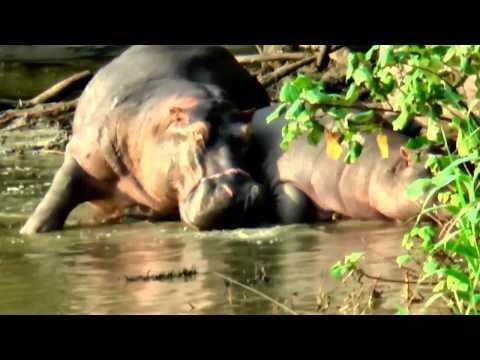 Hippopotamus in Saint Lucia South Africa