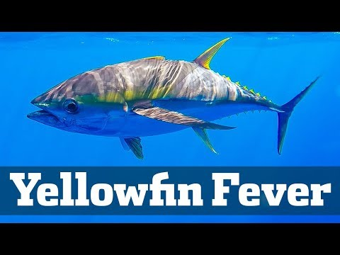 Yellowfin Fever - Florida Sport Fishing TV