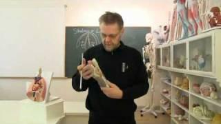 Anatomi-skolen - Introduktion til taleorganet struben (larynx).flv