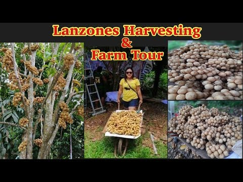 Lanzones Fruit Harvesting & Farm Tour | Vlog Take Over | Langsat Fruit