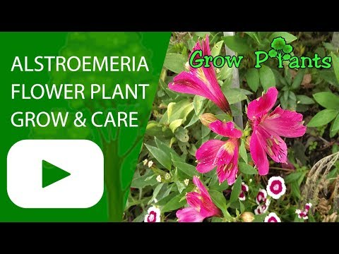 Alstroemeria flower plant - growing and care