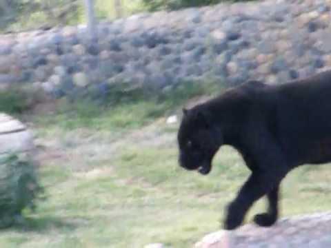 Black Lion/Tiger - YouTube