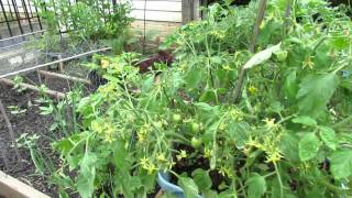 60 Seconds or Sow: Container Determinate Tomatoes & Massive Fruiting - The Rusted Garden 2013