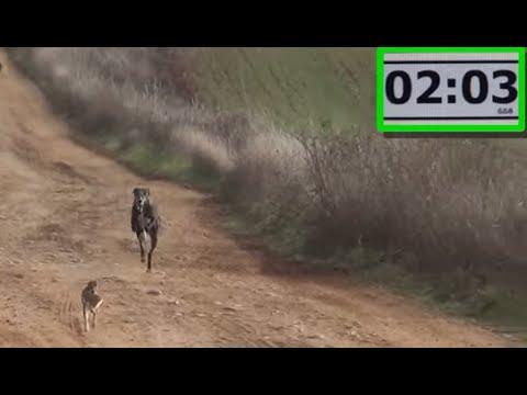 12.- Galgos vs Liebres XII --- Greyhounds vs Hares XII (Carrerooooon)