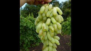 Сорта и гибридные формы винограда, часть 2, 2008 год, эпизод 3 Красохина СИ