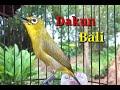 Pleci Dakun Bali Gacor Pas Buat Pancingan  Mp3 - Mp4 Download