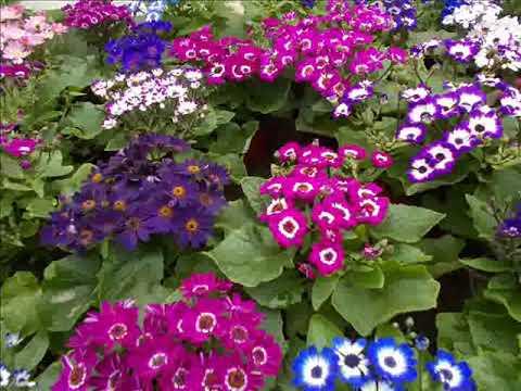 Красивоцветущие, посев цинерарии, уход и сроки.