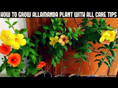 कैसे Allamanda पौधे में वृद्धि के साथ सभी केयर टिप्स (फास्ट एन आसान)