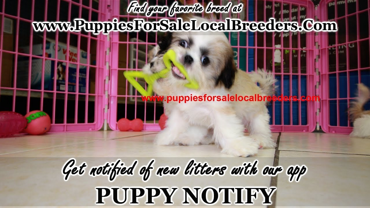 Shih Tzu Puppies For Sale Georgia Local Breeders Near Atlanta Ga