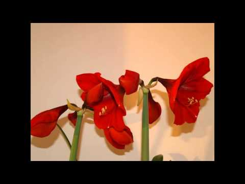 Amaryllis Flower Power