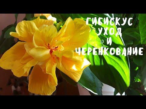 ГИБИСКУС уход и черенкование. Мои цветы. Мой опыт.