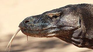 Дракон с острова Комодо (лат. Varanus komodoensis)