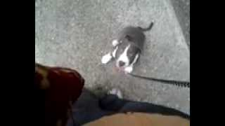 Coco my Blue Terrier  puppy on a walk Thumbnail