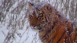 One Of The Last Generations Of Siberian Tiger? - Operation Snow Tiger - BBC