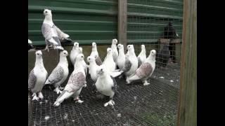 PIGEON BREEDS PART 1 FINAL
