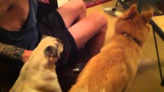 Pug Fights Dirty With A Pomeranian