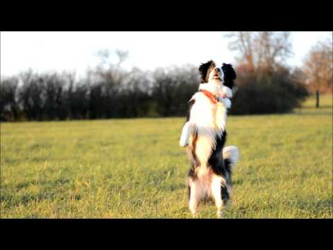 Dog tricks by Mini Aussie Lucky