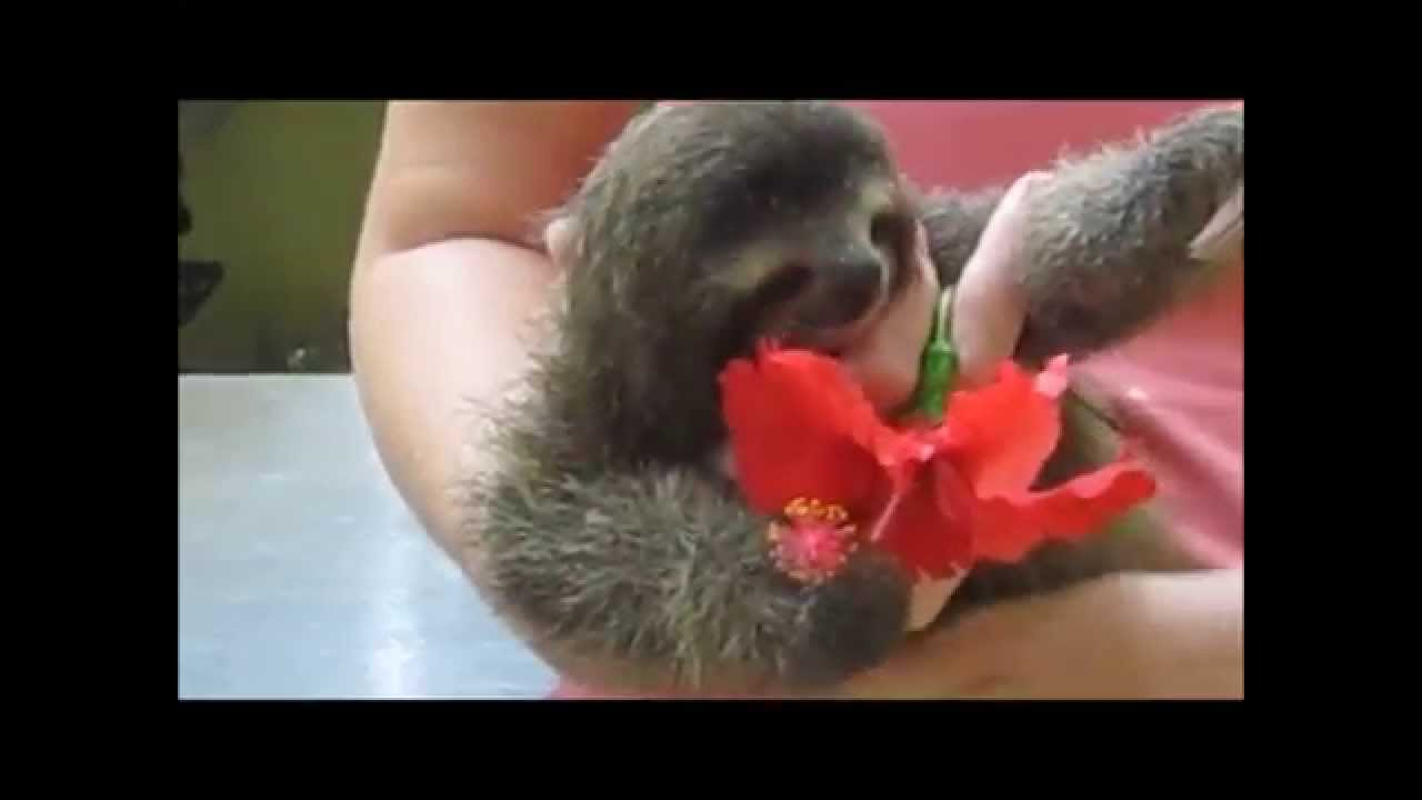 Adorable Orphaned Sloth Baby Eats A Hibiscus Flower Youtube